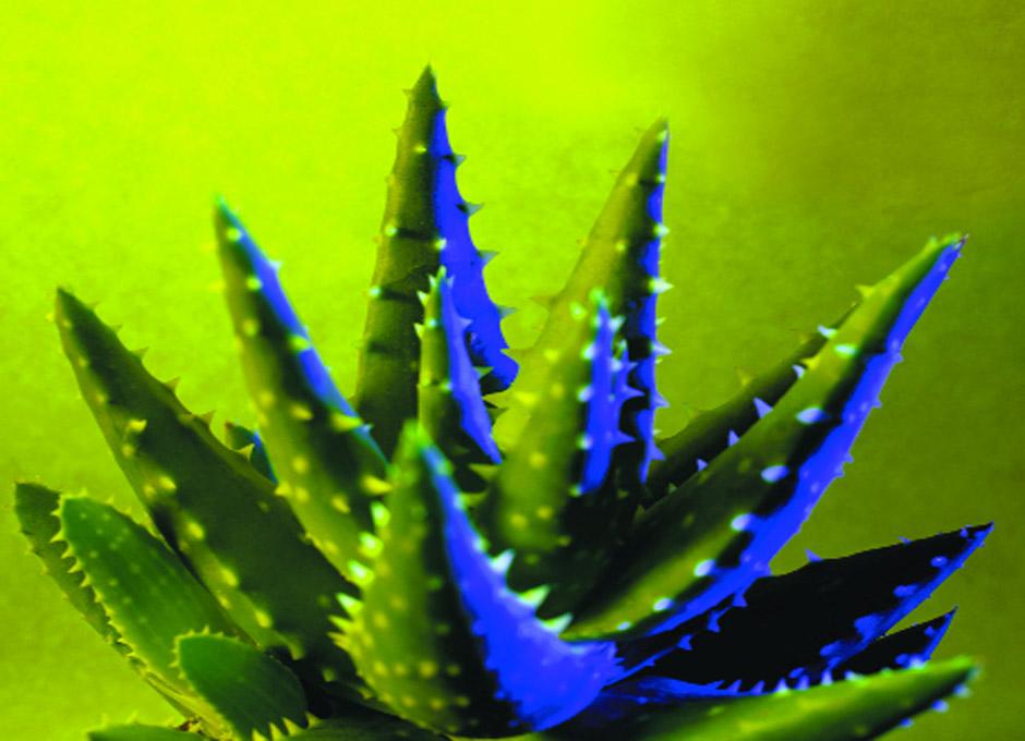 Aloe vera la planta de las quemaduras dsalud - Como es la planta de aloe vera ...